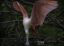 RoseateSpoonbill_CrystalBeach_March2015-3239B