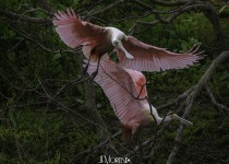 RoseateSpoonbill_CrystalBeach_March2015-3415