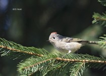 Ruby-crowned-Kinglet-1