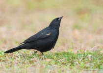 Tawny-shouldered-Blackbird