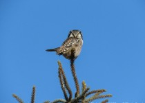 Y2-D034-Northern-Hawk-Owl-2