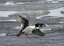 Y2-D053-Goldeneye-Frozen-Flight-4