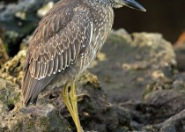 YC_Night_Heron_Immature