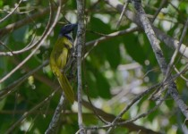black-headed-saltator-revista