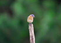 eastern-blue-bird