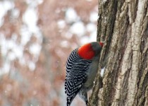 red-bellied-woodpecker-female-snowy-tree