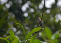 wine-throathed-hummingbird-female-2-240814