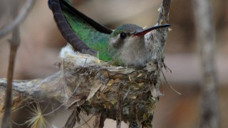 Broad-billed-Hummingbird