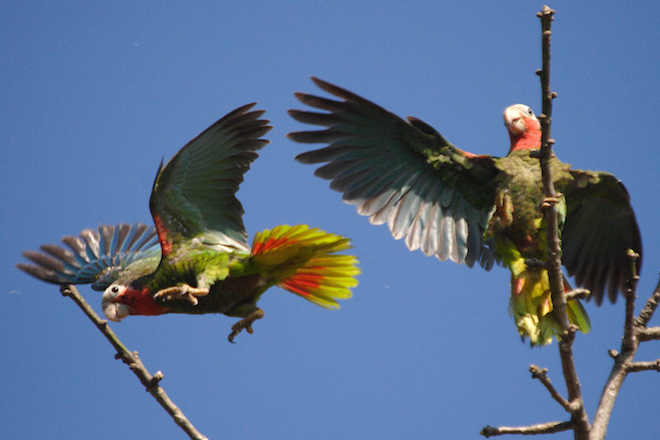 Cuban Parrots, photo by Rich Wagner.