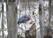 Great Blue Heron catching dinner at the Tollgate Wetlands