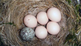 One Brown-headed Cowbird egg and five Eastern Phoebe eggs, June 2007, by Galawebdesign.