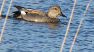 Gadwall-Duck-swimmer