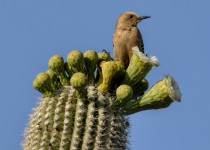 Gila-Woodpecker-on-Saguaro-Cactus