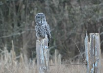 Great-Gray-Owl_1465_Final-1-cw-1