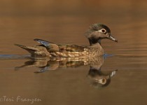 Hen_Wood_Duck