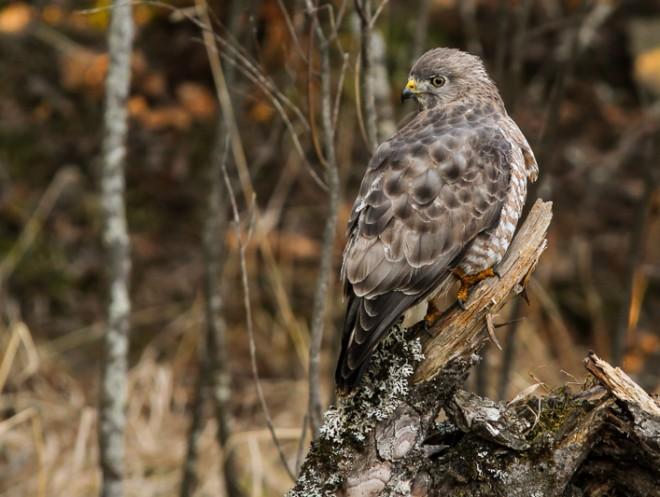 Broad-winged Hawk, Iron, Minnesota. Photo by Terry Crayne