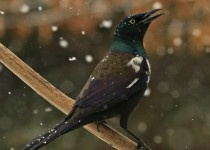 Leucistic_Grackle2