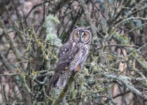 Long-eared-Owl_1514_cw-1