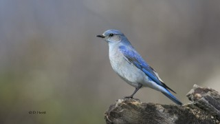 Mountain-Bluebird-03