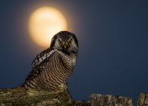 Northern Hawk Owl ©2014 Terry Crayne