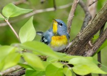 Northern-Parula-small