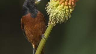Orchard-Oriole-on-Red-Hot-Poker