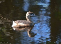 Pied-billed-Grebe_-1794_cw-1