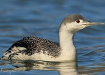 Red_Throated_Loon2