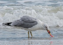Ring-billed-Gull-with-Candy-Worm