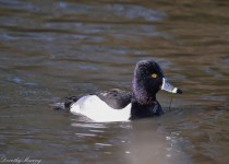 Ring-necked-Duck-Male-1366-Final-1