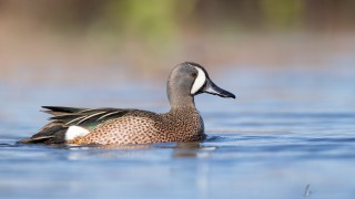 Blue-winged Teal by Joshua Clark