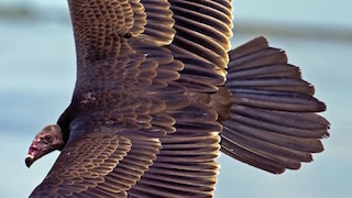 Turkey Vulture_320x180