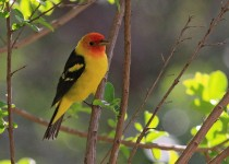 Western-Tanager_9343