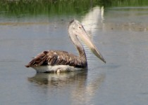 brown-pelican1