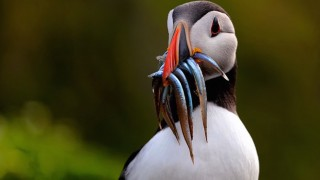 Atlantic Puffin on Skomer, an island off the coast of Pembrokeshire, Wales, by Doug Walsh.
