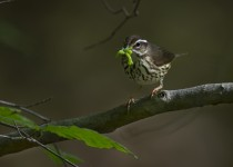 B03T0390_LouisianaWaterthrush_Sileo
