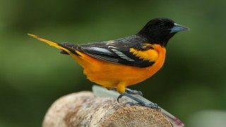 Baltimore Oriole by Janet Crouch.