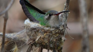 Broad-billed Hummingbird at Fort Huachuca, Arizona, April 14, 2015, by captbub.