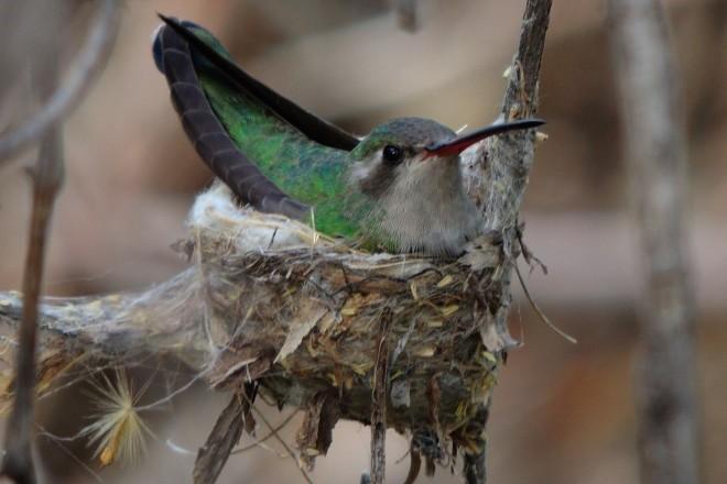 Broad-billed Hummingbird at Fort Huachuca, Arizona, April 14, 2015, by captbub.