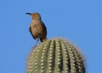Curve-billed-Thrasher