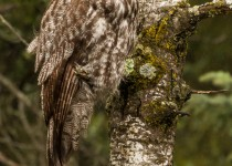 Great-Gray-Owl-1