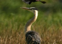 Heron_Grackle