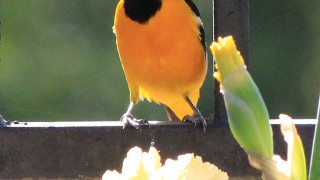 Hooded-Oriole_8979