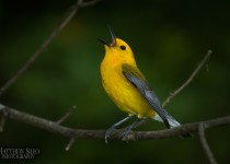 Prothonotary Warbler by Matthew Sileo
