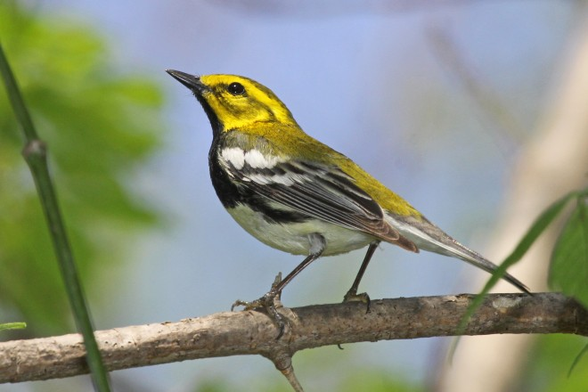 Warblers are stars of birding festivals. Black-throated Green Warbler at Magee Marsh Wildlife Area, Ohio.