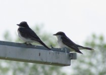 Kingbird-pair