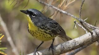 Kirtland-Warbler