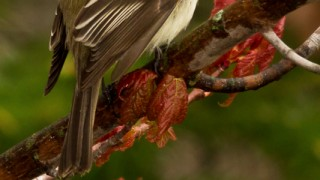 Least-Flycatcher-1