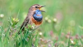 Bluethroat stands in green grass
