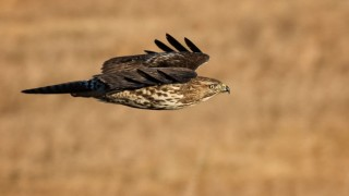 Red-tailedHawk-Bremer-660
